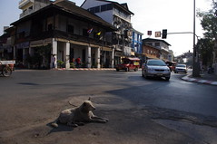 Dog, Flower Festival Day 2, Chiang Mai, Thailand (ARNAUD_Z_VOYAGE) Tags: street city building art beach nature architecture landscape thailand asia state action country capital southern portion southeast peninsula region department indochina municipality indochinese
