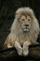 Witte leeuw (tasj) Tags: zoo ouwehandsdierenpark