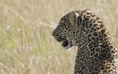 Leopard (howzey) Tags: africa kenya leopard masaimara maasaimara