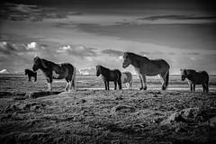 Into The Wind (Dan Fleury Photos) Tags: wild horse white black field mono iceland wind bnw icelandic