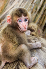 Iwatayama Monkey Park, Kyoto (basti_m28) Tags: japan monkey kyoto arashiyama iwatayama camera:make=canon exif:make=canon exif:focallength=50mm geo:country=japan geo:city=kyoto geostate exif:lens=1750mm exif:aperture=ƒ45 camera:model=canoneos600d exif:model=canoneos600d exif:isospeed=100 geo:lat=35008855555555 geo:lon=13567482222222 geo:location=iwatayamamonkeypark