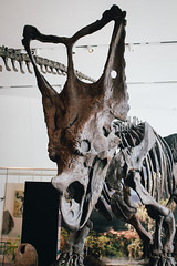 Jurassic Park - Chasmosaurs (Mallika Makkar Photography) Tags: toronto canada history museum canon fossil rebel university dinosaur reptile wideangle science bones bone biology paleo rom palaeontology yyz uoft 18mm fossilized sauropod 416 pterosaur torontophotographer torontophotography everydaytoronto igerstoronto mallikamakkarphotography