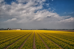 Narcissus field @ Hillegom (PaulHoo) Tags: flowers sky flower holland color netherlands lines yellow contrast landscape spring nikon pattern nik narcissus lightroom 2016 hillegom dfine colorefex d700