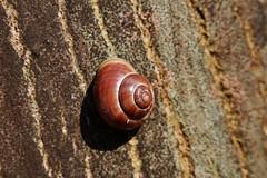 simplicity (Hugo von Schreck) Tags: macro snail makro escargot schnecke f13 onlythebestofnature tamron28300mmf3563divcpzda010 canoneos5dsr hugovonschreck
