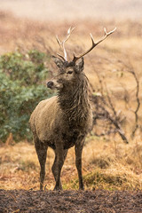 Stag (Shane Jones) Tags: scotland nikon stag deer antlers reddeer tc14eii wilddlife 200400vr d7200