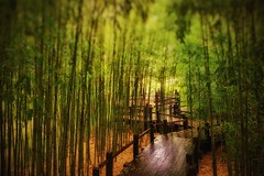 Bamboo Path (J*Phillips) Tags: green forest path walk bamboo