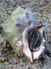 Chunky drills (Family Muricidae) (wildsingapore) Tags: nature island marine singapore underwater wildlife shore intertidal seashore mollusca gastropoda marinelife lazarus wildsingapore muricidae