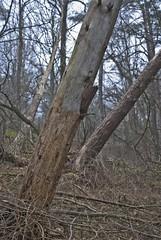 Post-storm leaners (Sven Rudolf Jan) Tags: forest gteborg sweden gothenburg skog trunk rekjrr