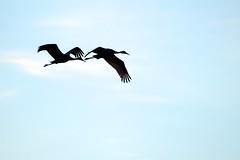 Duo (imageClear) Tags: blue color nature beauty birds silhouette wonder aperture nikon flickr wildlife cranes marsh photostream sandhillcranes 80400mm d7000 imageclear collinsmarsh