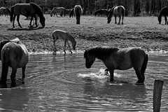Wild Horses in black-and-white - Bathing - 2016-028_Web (berni.radke) Tags: horse pony bathing herd nordrheinwestfalen colt wildhorses foal fohlen croy herde dlmen feralhorses wildpferdebahn merfelderbruch merfeld przewalskipferd wildpferde dlmenerwildpferd equusferus dlmenerpferd dlmenpony herzogvoncroy wildhorsetrack