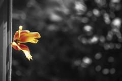 Libert! (Rana Saltatrice) Tags: red sun plant flower nature beauty yellow garden freedom blackwhite spring flora colours bokeh terrace tulip sole fiore petali giardino libert terrazza canon100d rebelsl1 valentinaconte