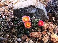 Aloinopsis spathulata hybrid 'High Noon' DSC08263 (sierrarainshadow) Tags: high noon hybrid spathulata aloinopsis