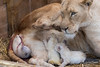 DSC_2968WM (Linda Smit Wildlife Impressions) Tags: cats white nature animal cat mammal photography big nikon outdoor african wildlife birth lion d750 cubs endangered lioness bigcats cecil carnivore lioncubs givingbirth