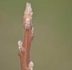 Fuzzy little tree buds. (maitai17960) Tags: sumac buds
