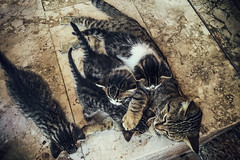 Tess and her litter (Melissa Maples) Tags: cameraphone cats apple animals turkey spring asia babies trkiye kittens antalya tessa kitties tess iphone  iphone6