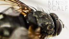 Musca domestica - 40mm macro (ben.scalf) Tags: ohio macro nature animal closeup bug insect fly nikon cincinnati wildlife micro 40mm dslr biology housefly lightroom d3200