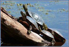 ~~~ Piggy Backed Painteds ~~~ (Wolverine09J ~ 1 Million + Views) Tags: spring reptile wildlife lakeshore basking paintedturtles naturesgallery naturescreations centralparkwildlifehighlights
