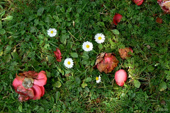 La muerte no entiende de primaveras (Franco DAlbao) Tags: flowers flores primavera grass lumix camelias spring ground margaritas suelo hierba daysies leicalens deathlife muertevida dalbao francodalbao
