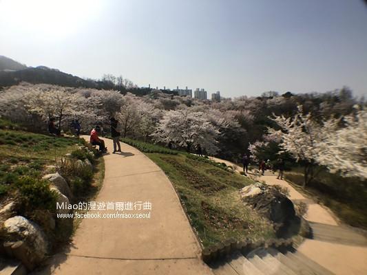 안산공원벚꽃32