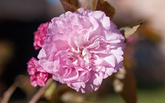 Double Pink Blossom (Phet Live) Tags: pink flower macro blossom live sigma 24mm f18 phet
