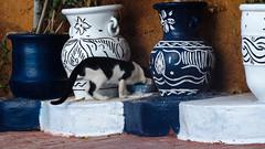 Le chat (A.B.S Graph) Tags: ocean music sun mer nid surf tour body sale maroc chateau poisson oiseau peche rabat planche regard canne gnawa pensif salé oudaia oudaya sacrée gnawi