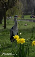 Grey Heron (Neil Phillips) Tags: bird heron grey aves ardea longneck ardeacinerea longlegs ardeidae greyheron pelecaniformes cinerea neoaves
