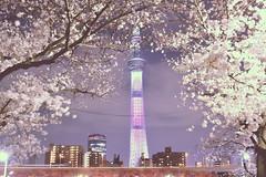 (mirei24) Tags: flower japan night cherry landscape tokyo spring pastel blossoms   sakura cherryblossoms            tokyotree