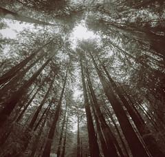Muir woods (atiredmachine) Tags: blackandwhite forest wideangle muirwoods superwideangle coastalredwoods