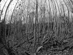 new shoots denbrae-4240092 (E.........'s Diary) Tags: st andrews fife eddie saplings denbrae rossolympusomdem5markiiscotlandapril2016spring
