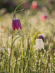 Snake's-head Fritillaries (Damian_Ward) Tags: morning photography dew naturereserve oxford fritillaries oxfordshire berks fritillary oxon snakesheadfritillary snakeshead fritillariameleagris bbowt guineahenflower checkeredlily iffleymeadows leperlily thewildlifetrusts damianward frogcup bucksoxonwildlifetrust chessflower lazarusbell ©damianward