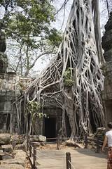 Ta Prohm Tree (picturesfrommars) Tags: tree cambodia kambodscha siem angkor ta prohm reao a6000 selp1650