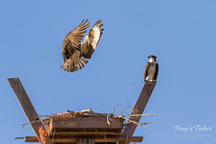 Male Osprey tosses grass toward its nest - Sequence - 14 of 19