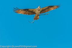 _DSC4800.jpg (orig_lowolf) Tags: usa dog nature oregon nikon flickr osprey lakeoswego turkeyvulture d300s sigma150500mmf563afapodgoshsmtelephotozoom
