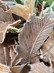 07/12/2015 (Rijp op bloemen) (noodweerbe) Tags: winter december planten koud rijp