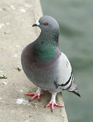 Rock Pigeon (lycaenidae_nm) Tags: brooklyn