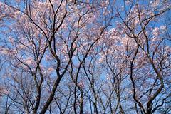 DIFFERENT SKY (ajpscs) Tags: pink blue sky japan japanese tokyo spring nikon d750  cherryblossom  sakura nippon   haru       differentsky seasonchange  ajpscs