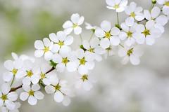 Thunberg's meadowsweet (qooh88) Tags: white spring shrub deciduous snowwhite spiraea  thunbergsmeadowsweet  rosaceae     spiraeoideae   spiraeathunbergii