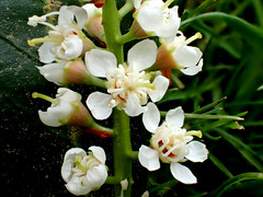 1d Unknown bush (bugldy99) Tags: plant flower nature outdoors bush blossom spire