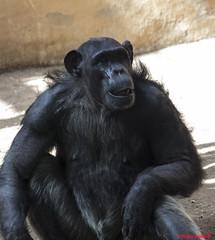 gorilla (pollard10) Tags: smiling animals eos waiting gorilla cannon 600d