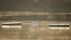 Swan and Tern Rafts (Tony McLean) Tags: muteswan naturephotography eastyorkshire mistymorning wildlifephotography tophilllow nikond4 nikon500f4gvr 2016tonymclean