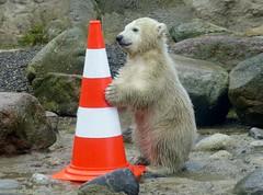 Big Bear  (BrigitteE1) Tags: bear baby germany de geotagged cub europe polarbear lili bremerhaven zooammeer br bigbear ours eisbr ursusmaritimus oursblanc eisbrlili polarbearlili