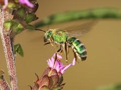 Augochlora Sweat Bee (DrPhotoMoto) Tags: green northcarolina sweatbee richmondcounty solitarybee augochlorasweatbee