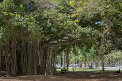 Banyan Tree (Ficus sp.) (ekroc101) Tags: plants hawaii oahu honolulu banyantree