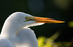 Sunrise Great Egret (SDRPhoto321) Tags: new light sun white haven black reflection tree bird eye art nature wet water birds animal gardens sunrise canon dark neck botanical outside eos bill dance eyes colorful exposure dof dress nest bright florida outdoor expression air great birding perspective beak feathers sunny atlantic depthoffield national wetlands worth backlit lands elevated inspire mighty egret depth inspiring intercoastal nesting