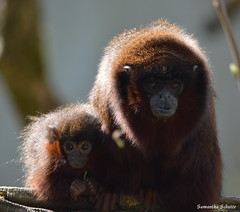 Coppery titi, Apenheul (Samantha Schutte) Tags: netherlands animals zoo nikon nederland monkeys dieren apenheul apeldoorn dierentuin apen d3200