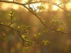 New Leaves (ukstormchaser (A.k.a The Bug Whisperer)) Tags: new trees sunlight macro tree leaves way evening leaf bush north backlit milton keynes bushes bucks