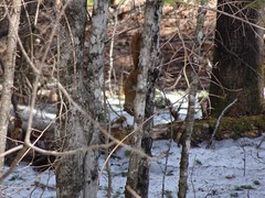 Red Pine Squirel c (thepiper351) Tags: wild cute forest woodland spring woods scenery fuzzy maine adorable timberland tamiasciuris husdsonicus