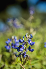Bluebonnets Macro 1 (Scosanf) Tags: trip travel flowers sunlight nature canon eos spring texas shadows dof bokeh naturallight roadtrip depthoffield bluebonnets ef2470mmf28lusm topaz 6d