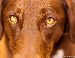 Reflected in Her Eyes (KB RRR) Tags: dog colorado rockymountains frontrange chocolatelabrador shyla