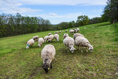La charge sauvage (Collabois) Tags: wool nikon sheep flock pasture moutons herbe laine d600 pturages